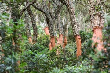 <?php echo We identify the best cork oak forests